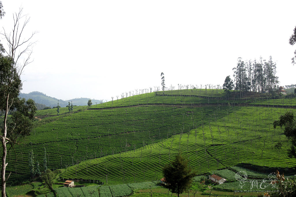 Ooty tea plantations - top things to do in ooty