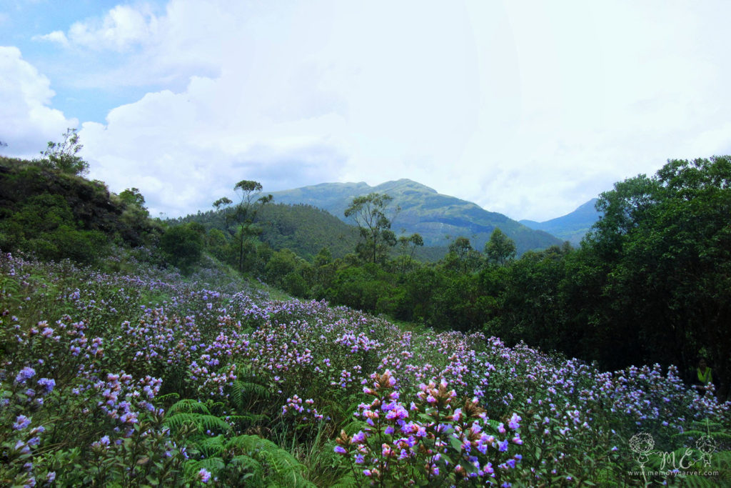Neelakurinji bloom 2018 - Eravikulam national park